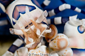 Harlequin Shrimp up close by Tony Cherbas 
